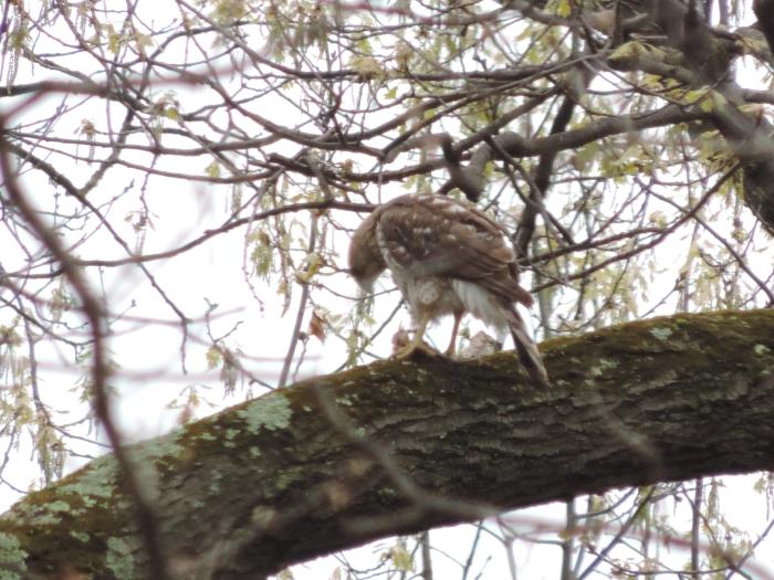 Red tailed hawk - met een snack....