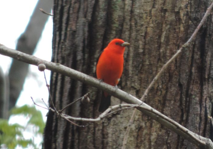 Een Scarlet Tanager!