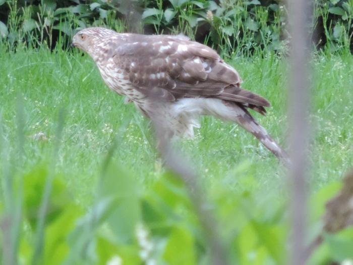 Een volwassen red tailed hawk - op rooftocht bij de buren
