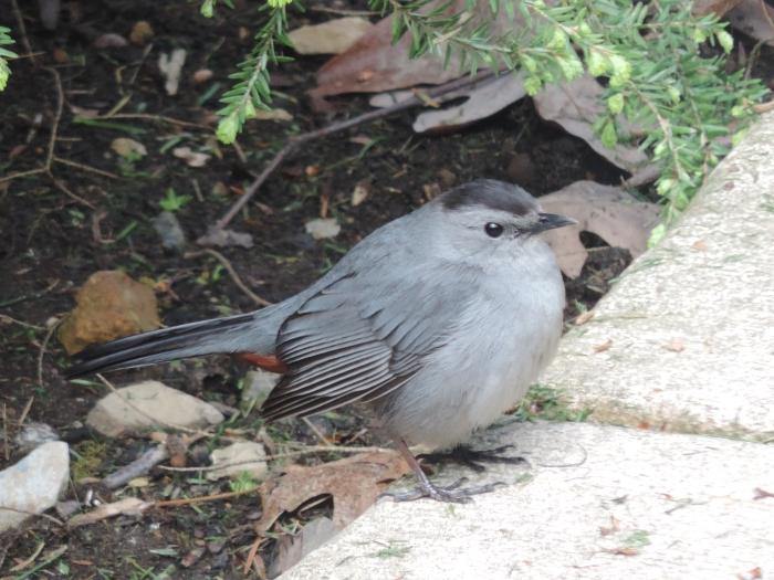 Gray Catbird - volwassen vogel