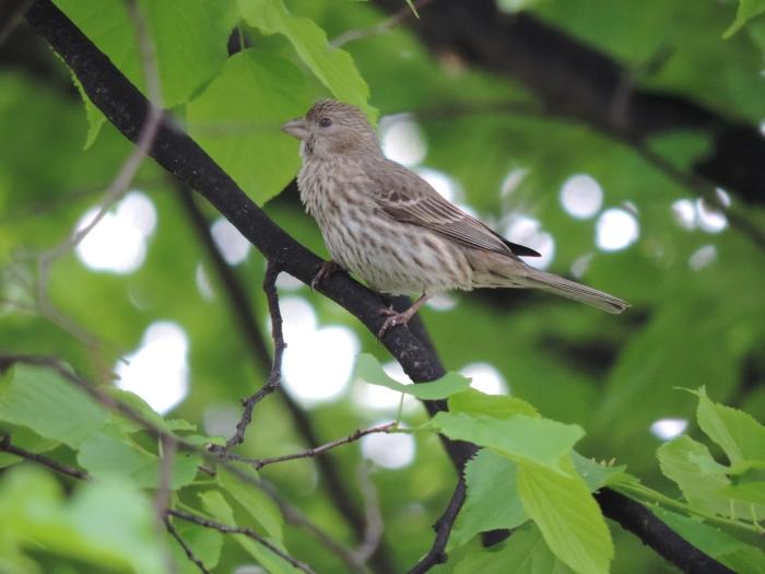 Een gewone House Finch in de boom voor ons huis - huisvink - maar wel een mooi plaatje