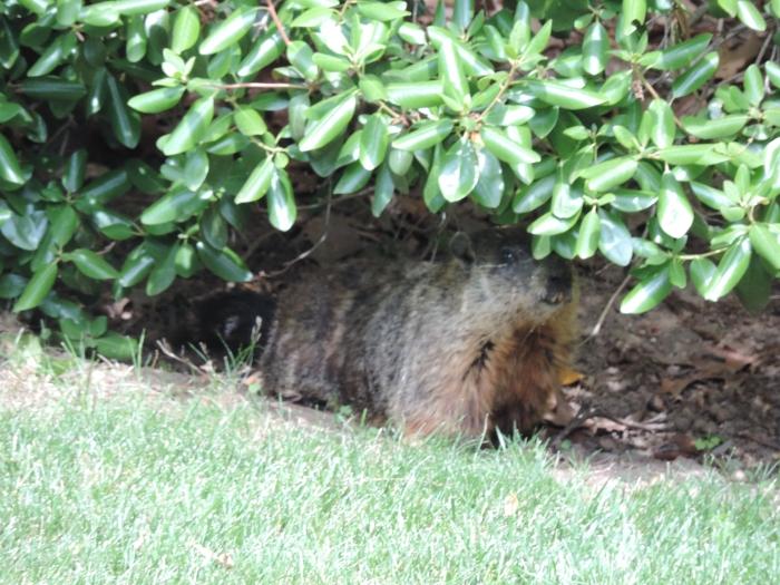 Een groundhog - bij ons in de tuin