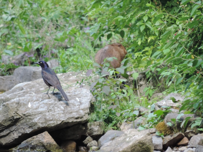 Links een Grackle, rechts een muskusrat - bij Penns Cave