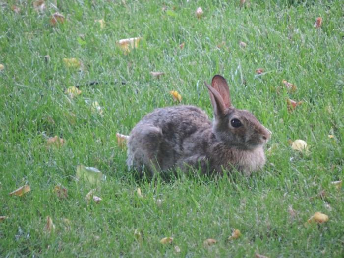 Een cottontail rabbit in de voortuin. Zit er regelmatig!