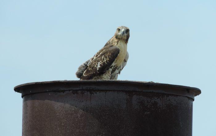 Deze Red Tailed Hawk was 'not amused' toen wij de fabriek kwamen bekijken