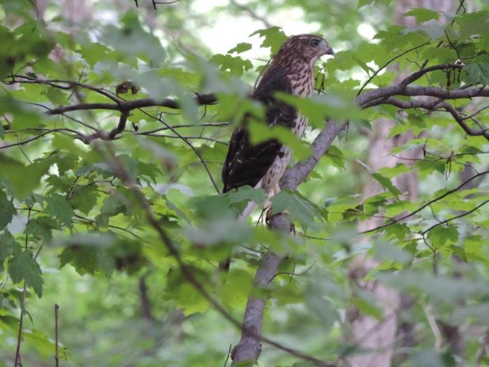 Een jonge red tailed hawk bij ons in de achtertuin