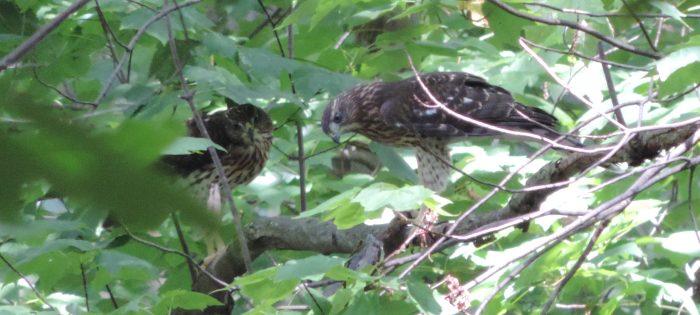 Red tailed hawks - wat zit daar beneden?