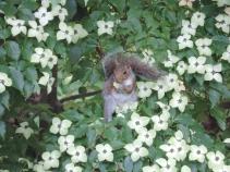 De eekhoorns in de dogwood boom... lekker besjes eten