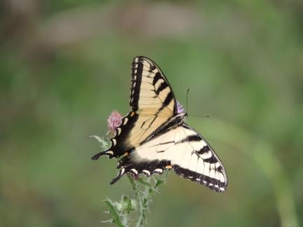Een grote geel-zwarte vlinders