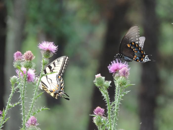 Grote vlinders op distels