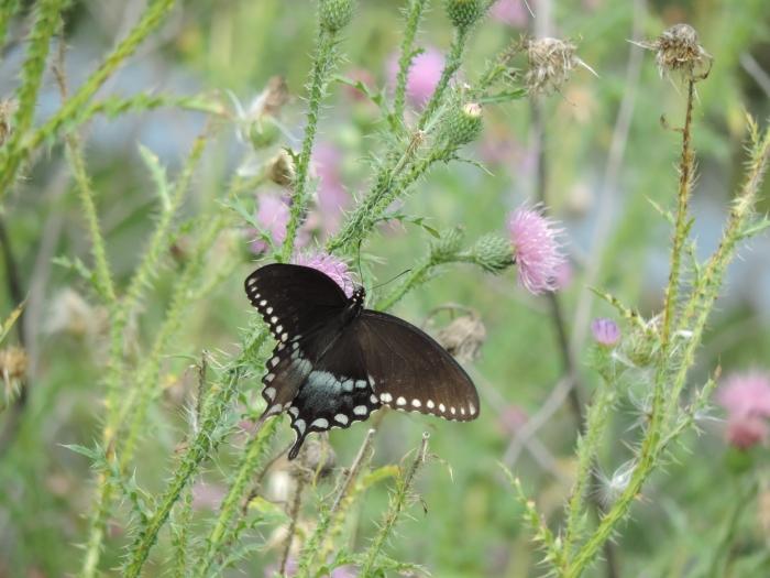En nog een grote vlinder