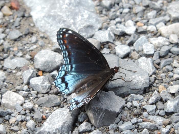 Een blauw-zwarte vlinder op het grindpad