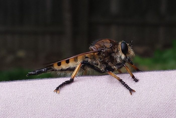 Een robber fly