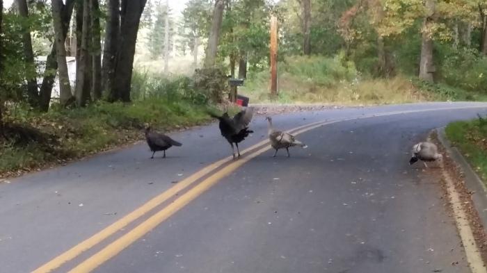 We kwamen laatst wilde kalkoenen (wild turkeys) tegen op ons fietsrondje in het weekend