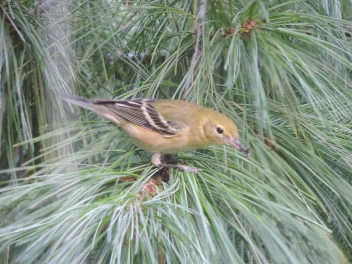 Een Pine Warbler