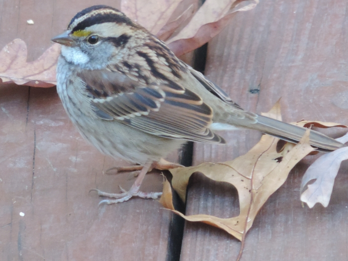 Een White-throated Sparrow